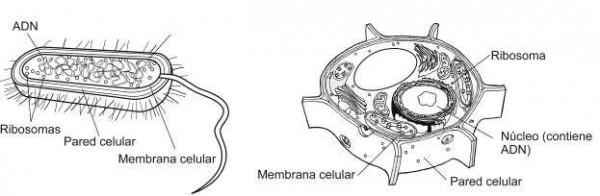 Celulas Eucariotas Y Procariotas Para Colorear