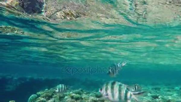 Peces Tropicales Nadan No Lejos De La Superficie Del Mar  Para