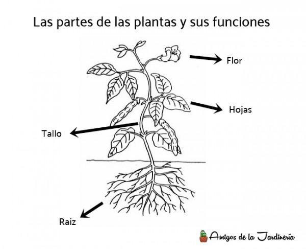 Partes De Las Plantas Y Sus Funciones