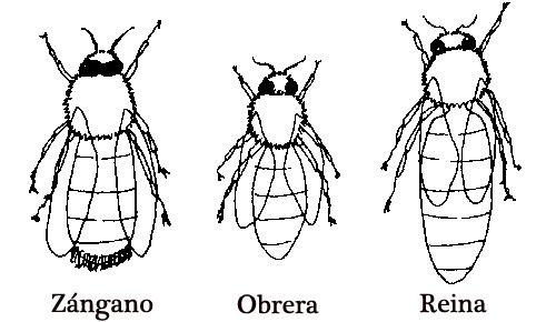 Tipos De Abejas  Zánganos, Obreras Y Abeja Reina