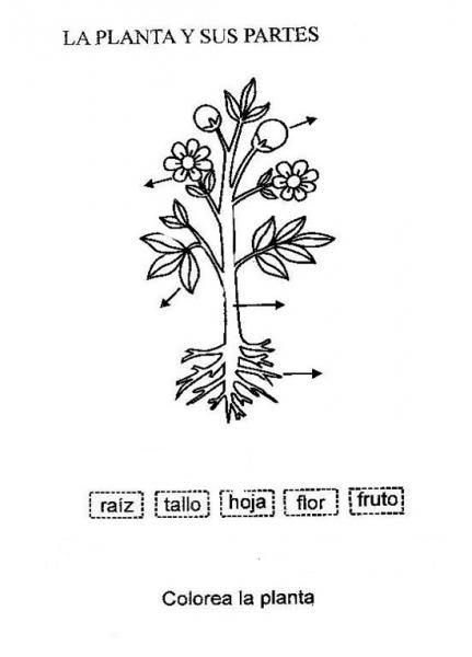 Partes De Las Plantas Raiz Para Colorear