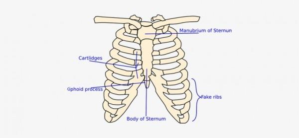 Graphic Anatomical Drawing Rib Cage