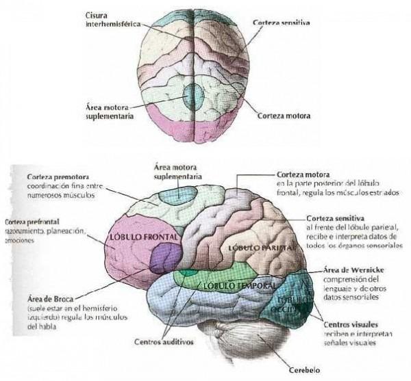 Biologia Fotos Dibujos Imagenes  Dibujos Del Cerebro Humano Y Sus