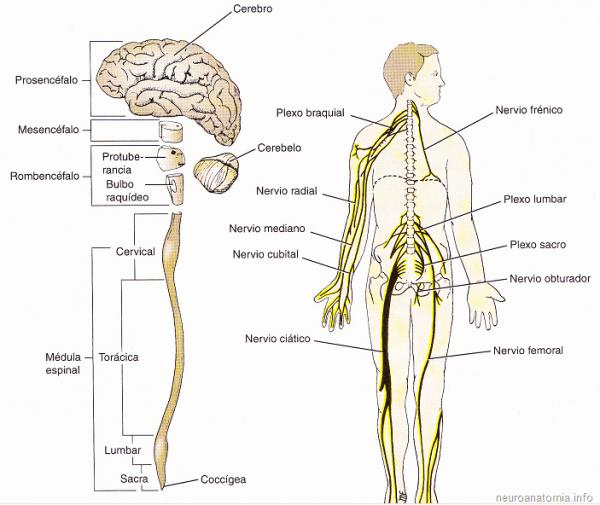 Resultado De Imagen Para Sistema Nervioso Central Y Periferico