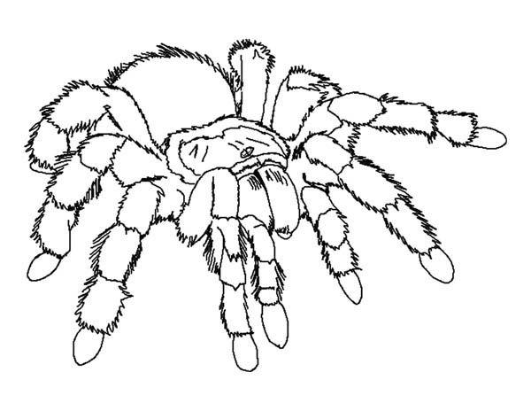 Resultado De Imagen De La Tarantula Dibuix