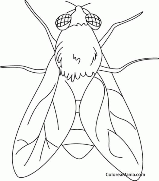 Colorear Mosca  Fly 2 (insectos), Dibujo Para Colorear Gratis