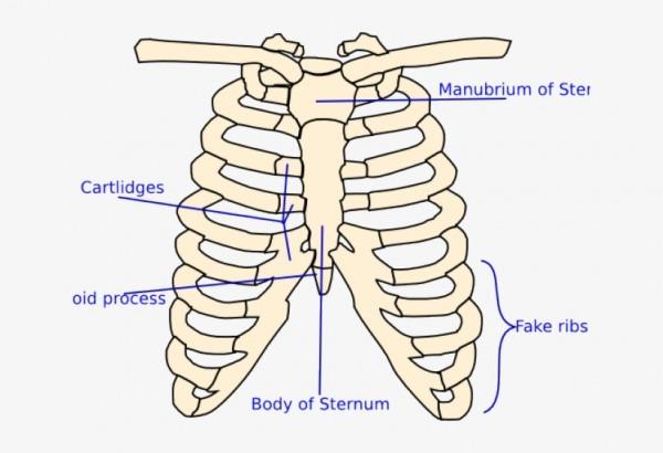 X Ray Clipart Skeleton Rib Cage