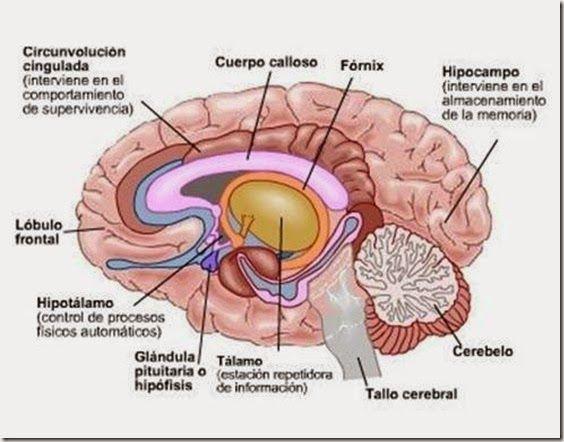 Partes Del Cerebro Para Colorear