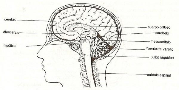 Esquema Del Cerebro Para Colorear