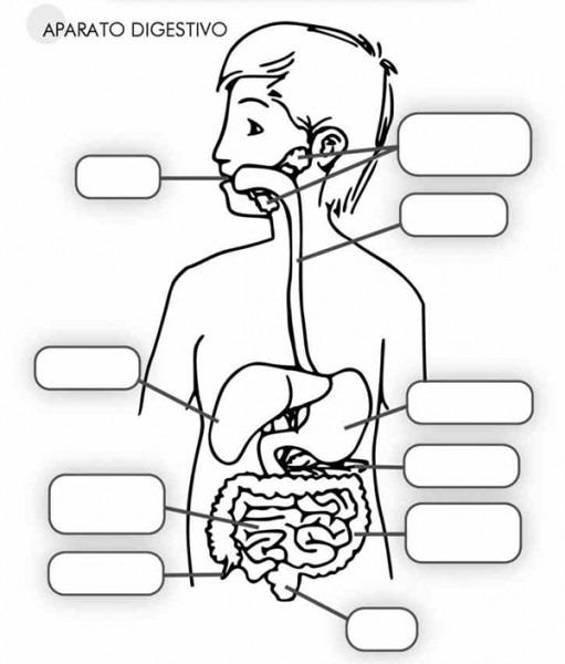▷ Aparato Digestivo Para Niños ⇒ 【↓paso A Paso↓】 💥 ®