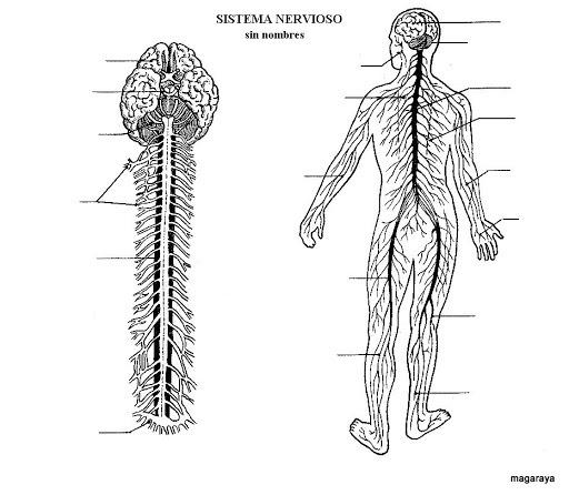 Conociendo Las Partes Principales Del Sistema Nervioso
