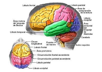Dibujos Imagenes Biologia Sistema Aparato  Dibujos Del Cerebro
