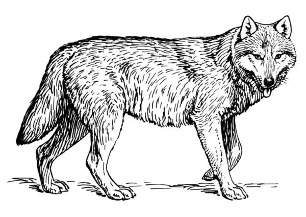 Imagenes Para Dibujar Lobos
