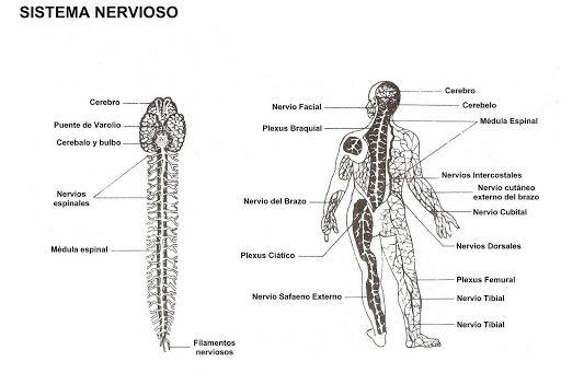 Sistema Nervioso Para Colorear – Dibujos Disney