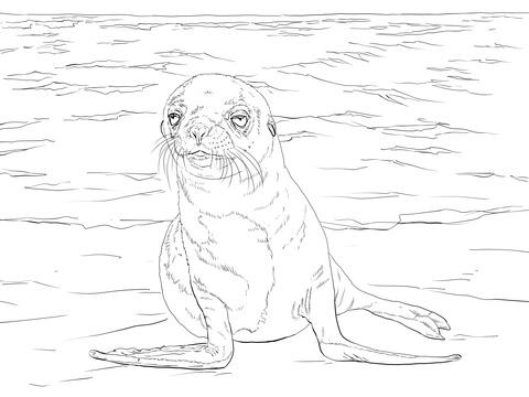 Dibujo De Cachorro De León Marino De Las Islas Galápagos Para