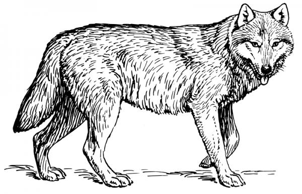 Como Dibujar El Lobo Mexicano