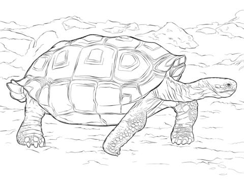 Dibujo De Tortuga Galápagos Realista Para Colorear