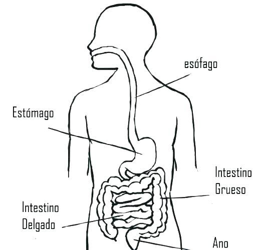 Dibujos Para Colorear Del Sistema Digestivo Y Sus Partes