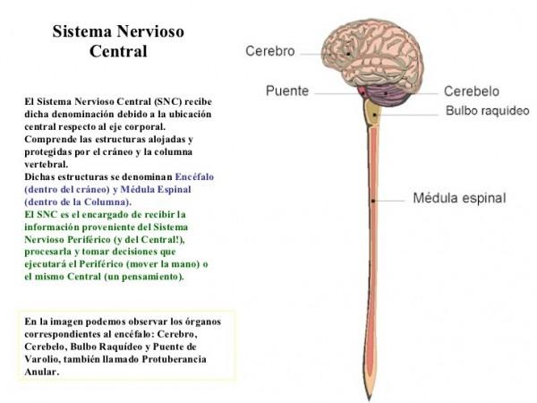 Mapa Conceptual Del Sistema Nervioso Central Y Periférico  Cuadros