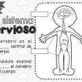 Imagenes Del Sistema Nervioso Central Para Colorear