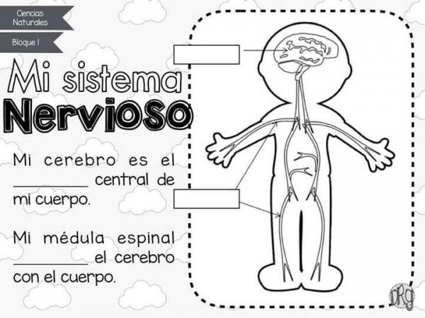 Imágenes Del Sistema Nervioso  Estructura, Partes Y Nombres
