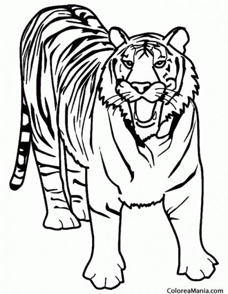 Colorear Tigre Furioso (animales De La Selva), Dibujo Para