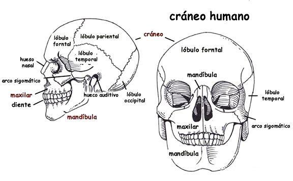 Resultado De Imagen Para Craneo Humano Y Sus Partes