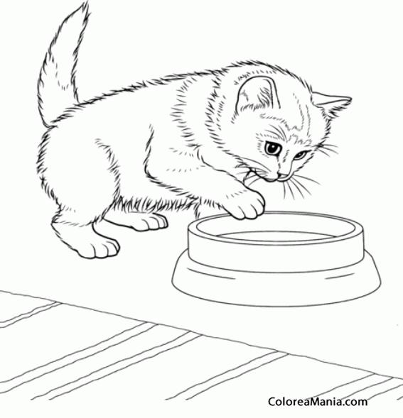 Colorear Gato Javanés Bebiendo Agua (animales Domésticos), Dibujo