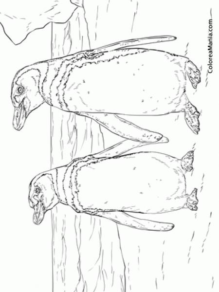 Colorear Pingüinos De Humboldt  Spheniscus Humboldti (animales
