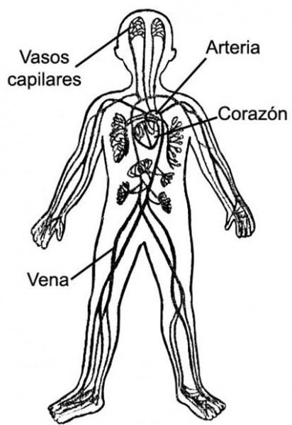 Sistema Circulatorio Para Niños De Inicial