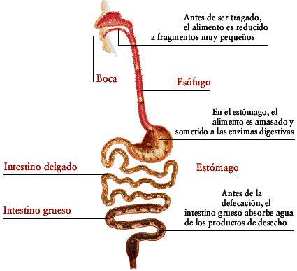 Dibujos Imagenes Biologia Sistema Aparato  Imagenes Del Aparato