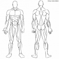 Musculos Del Cuerpo Para Colorear