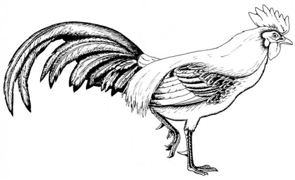 Gallo  12 (animales) – Páginas Para Colorear