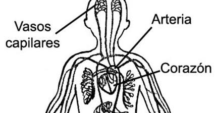 Dibujos Para Colorear Aparato Circulatorio