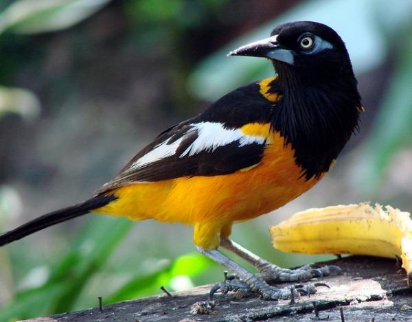 El Turpial (ave Nacional) – Venelogía
