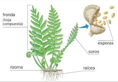 Plantas Sin Flores  Musgos Y Helechos ~ Con