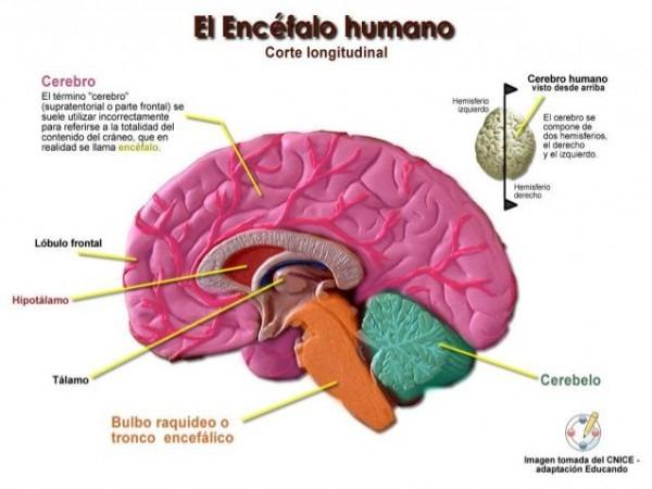 El Encefalo, Sus Partes Y Funciones