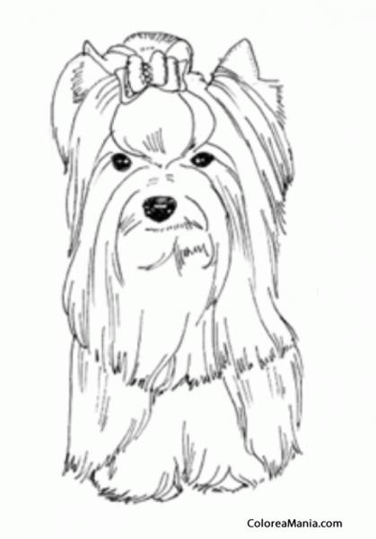 Colorear Perro Yorkshire Terrier O Yorkie Con Lacito (animales