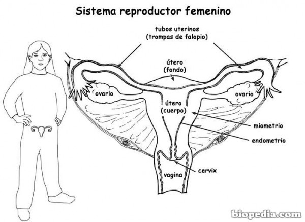 √ Aparato Reproductor Femenino Dibujo Para Colorear
