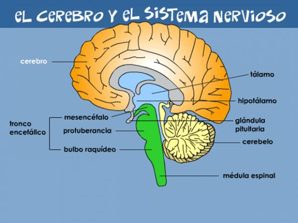 Tu Cerebro Y Tu Sistema Nervioso (para Niños)
