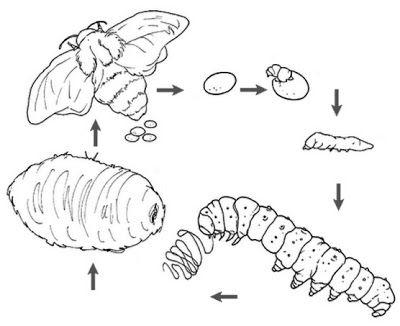 Manual Del Científico  La Metamorfosis Del Gusano De Seda