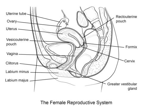 √ Dibujo De Sistema Reproductor Femenino Para Colorear
