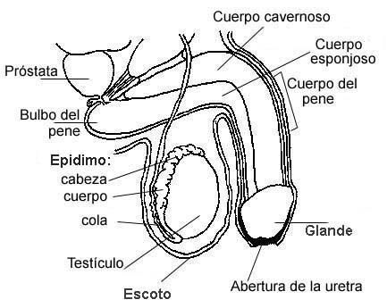 √ Aparato Reproductor Masculino Para Colorear