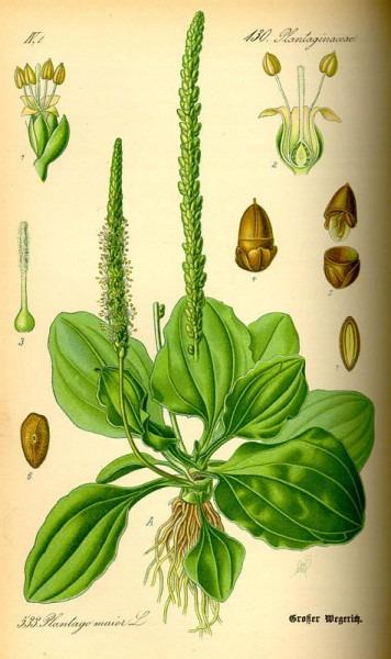 Planta Medicinal  Llantén