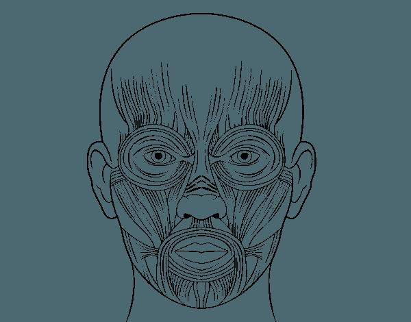Dibujo De Músculos De La Cara Para Colorear