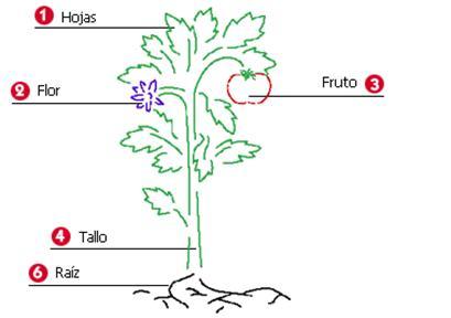 Partes De Las Plantas Dibujos Para Colorear