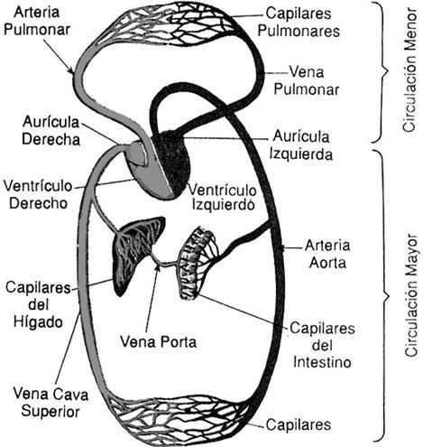 Terceropmar » Aparato Circulatorio