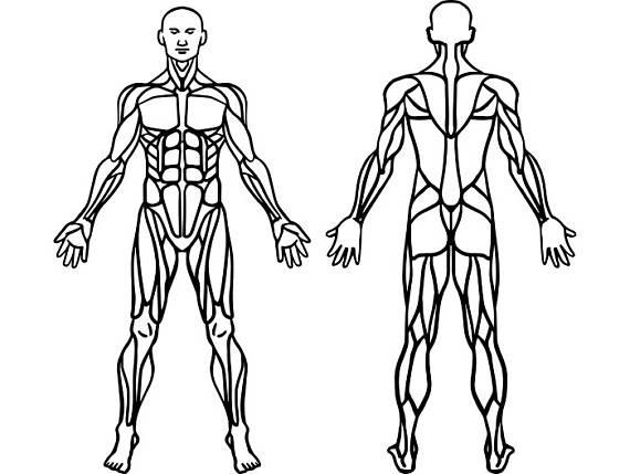 √ Sistema Muscular Para Colorear