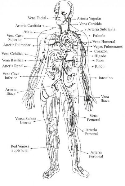 Sistema Circulatorio Para Colorear