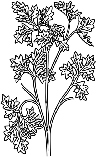 Download Hd Drawing Parsley Herb Coriander Plants